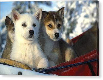 Close Up Of Siberian Husky Puppies Canvas Print by Nick Norman