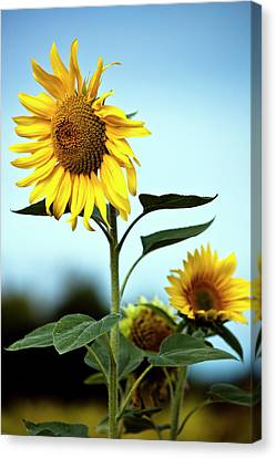Close Up Of Sunflowers Canvas Print by Philippe Doucet