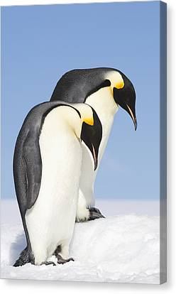 Close Up Of Two Adult Emperor Penguins Canvas Print