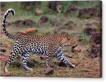 Close Up Of Walking Leopard Female Siri In Masai Mara, Kenya Canvas Print