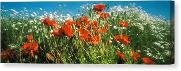 Close-up Of Wildflowers And Poppies Canvas Print by Panoramic Images