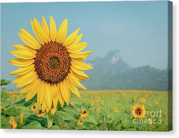 Canvas Print featuring the photograph Close-up On Sunflower. by Tosporn Preede