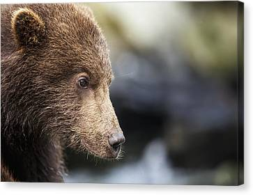 Close-up Portrait Of Coastal Brown Bear Canvas Print by Paul Souders