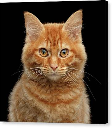 Close-up Portrait Of Ginger Kitty On Black Canvas Print