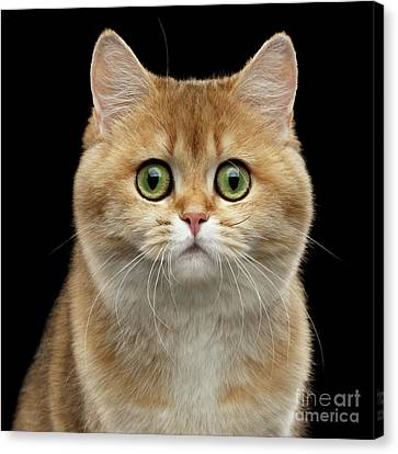 Cat Canvas Print - Close-up Portrait Of Golden British Cat With Green Eyes by Sergey Taran
