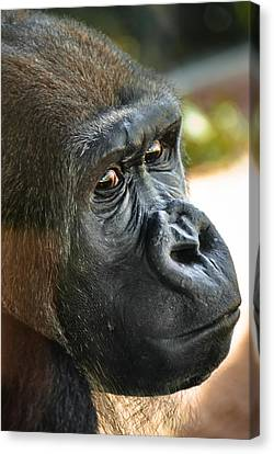 To Dominate Canvas Print - Close Up Portrait Of Gorilla by Aaron Sheinbein