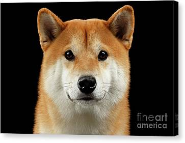 Close-up Portrait Of Head Shiba Inu Dog, Isolated Black Background Canvas Print