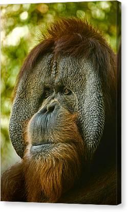 Close Up Portrait Of Orangutan Canvas Print by Aaron Sheinbein