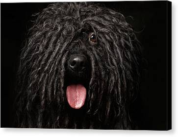 Close Up Portrait Of Puli Dog Isolated On Black Canvas Print by Sergey Taran
