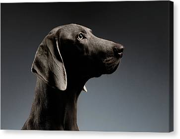 Close-up Portrait Weimaraner Dog In Profile View On White Gradient Canvas Print