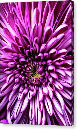Close Up Purple Mum Canvas Print by Garry Gay