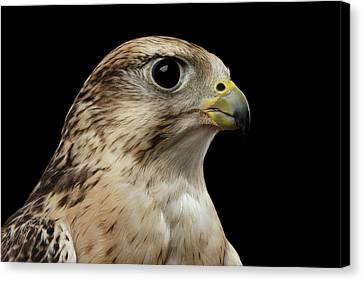Close-up Saker Falcon, Falco Cherrug, Isolated On Black Background Canvas Print