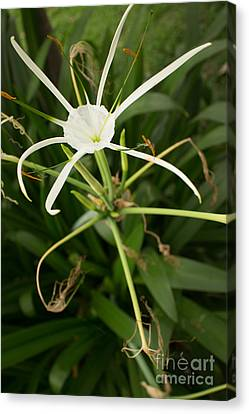 Close Up White Asian Flower With Leafy Background, Vertical View Canvas Print