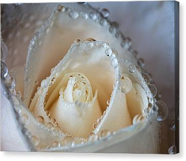 Close Up White Rose Canvas Print