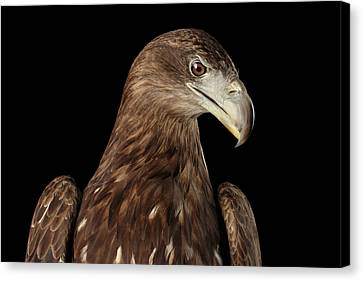 Close-up White-tailed Eagle, Birds Of Prey Isolated On Black Bac Canvas Print by Sergey Taran
