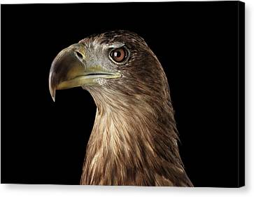 Wild Birds Canvas Print - Close-up White-tailed Eagle, Birds Of Prey Isolated On Black Background by Sergey Taran