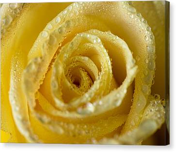 Close Up Yellow Rose Canvas Print