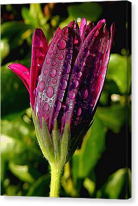 Closed Daisy With Rain Drops Canvas Print