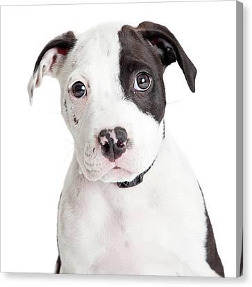 Closeup Cute Pit Bull Puppy Canvas Print by Susan Schmitz