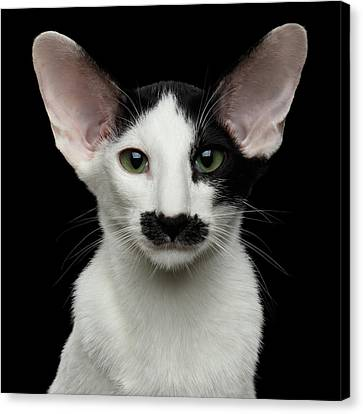 Closeup Funny Oriental Shorthair Looking At Camera Isolated, Bla Canvas Print by Sergey Taran