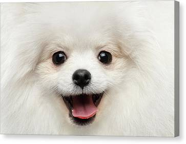 Closeup Furry Happiness White Pomeranian Spitz Dog Curious Smiling Canvas Print