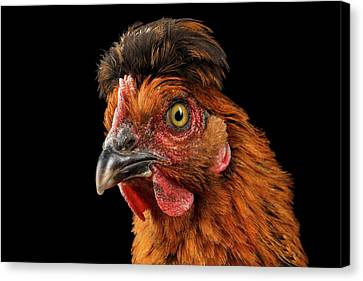 Closeup Ginger Chicken Isolated On Black Background In Profile View Canvas Print by Sergey Taran