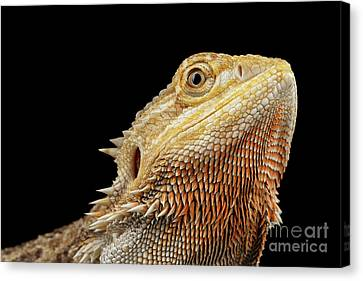 Closeup Head Of Bearded Dragon Llizard, Agama, Isolated Black Background Canvas Print by Sergey Taran