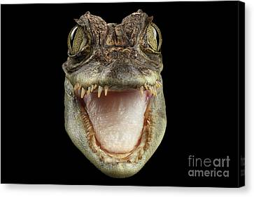Closeup Head Of Young Cayman Crocodile , Reptile With Opened Mouth Isolated On Black Background, Fro Canvas Print by Sergey Taran