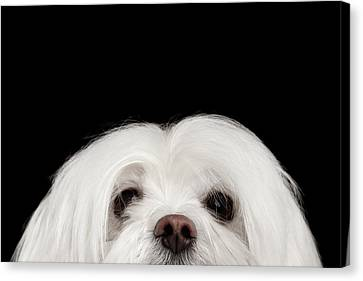 Closeup Nosey White Maltese Dog Looking In Camera Isolated On Black Background Canvas Print