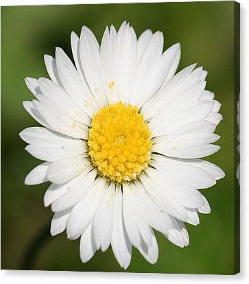 Closeup Of A Beautiful Yellow And White Daisy Flower Canvas Print