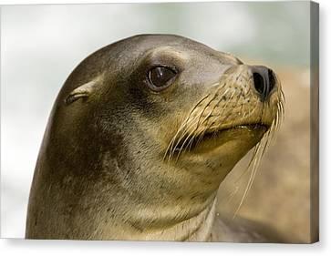 Closeup Of A California Sea Lion Canvas Print by Tim Laman