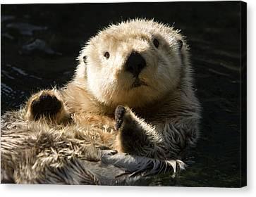 Closeup Of A Captive Sea Otter Making Canvas Print by Tim Laman