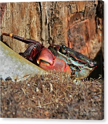 Canvas Print featuring the photograph Closeup Of A Peeking Crab by Susan Wiedmann