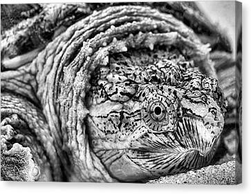 Closeup Of A Snapping Turtle Canvas Print by JC Findley