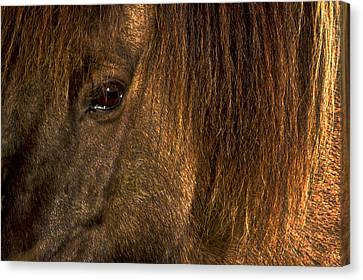 Closeup Of An Icelandic Horse #2 Canvas Print