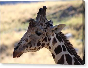Closeup Of Giraffe Canvas Print by Colleen Cornelius