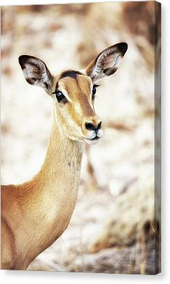 Closeup Of Impala In South Africa Canvas Print by Susan Schmitz