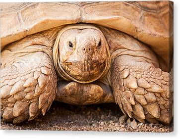 Closeup Of Large Galapagos Tortoise Canvas Print by Susan Schmitz
