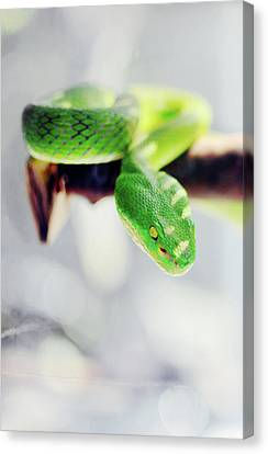 Closeup Of Poisonous Green Snake With Yellow Eyes - Vogels Pit Viper  Canvas Print