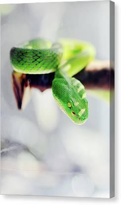 Srdjan Kirtic Canvas Print - Closeup Of Poisonous Green Snake With Yellow Eyes - Vogels Pit Viper  by Srdjan Kirtic
