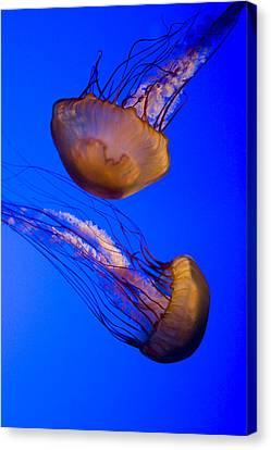 Closeup Of Two Captive Jellies Canvas Print by Tim Laman