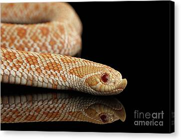 Closeup Pink Pastel Albino Western Hognose Snake, Heterodon Nasicus Isolated On Black Background Canvas Print by Sergey Taran