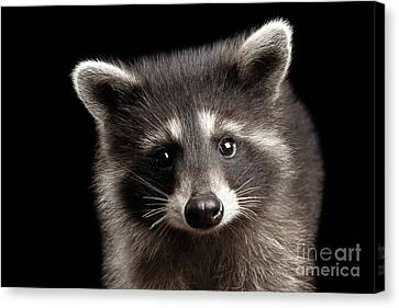 Closeup Portrait Cute Baby Raccoon Isolated On Black Background Canvas Print by Sergey Taran