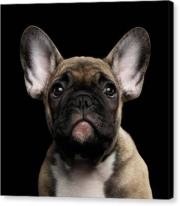 Closeup Portrait French Bulldog Puppy, Cute Looking In Camera Canvas Print