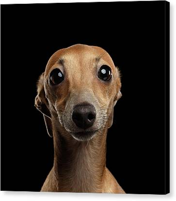 Closeup Portrait Italian Greyhound Dog Looking In Camera Isolated Black Canvas Print by Sergey Taran