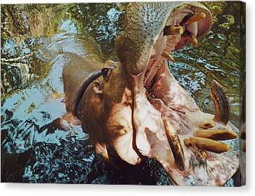 Srdjan Kirtic Canvas Print - Closeup Portrait Of A Hippo/hippopotamus With Mouth Wide Open by Srdjan Kirtic