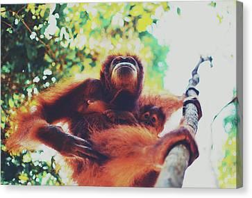 Closeup Portrait Of A Wild Sumatran Adult Female Orangutan Climbing Up The Tree And Holding A Baby Canvas Print