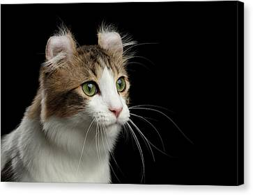 Closeup Portrait Of American Curl Cat On Black Isolated Background Canvas Print by Sergey Taran