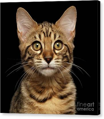Closeup Portrait Of Bengal Kitty Isolated Black Background Canvas Print by Sergey Taran