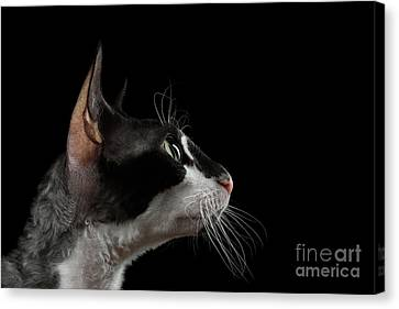 Closeup Portrait Of Cornish Rex In Profile Isolated On Black  Canvas Print by Sergey Taran